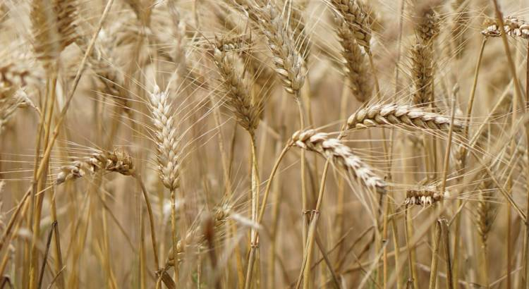 wheat-field-2554358_1920