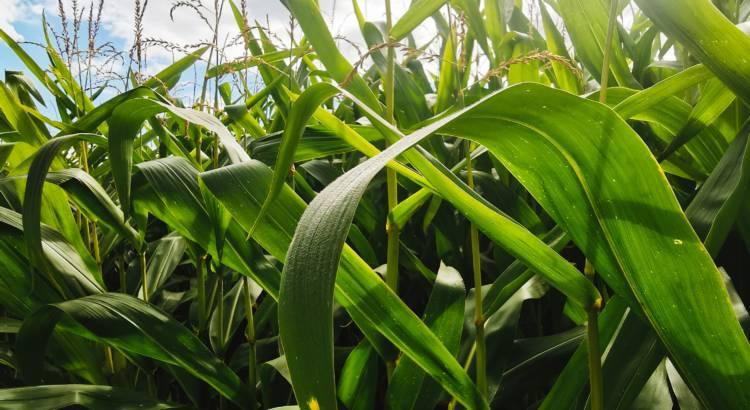 Champs de maïs ©Garun-Paysanne